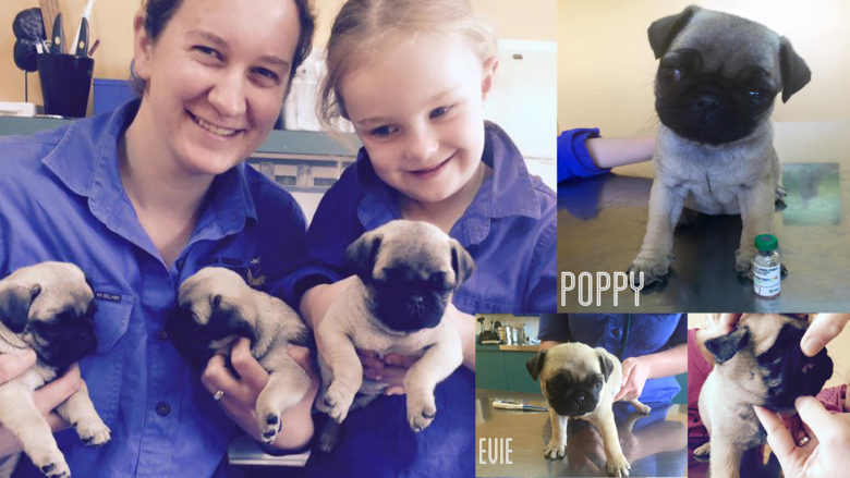 PugLove Puppies Vaccination Time at Glen Innes Vet