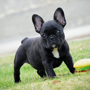 juiceman-black-brindle-french-bulldog-puppy-1